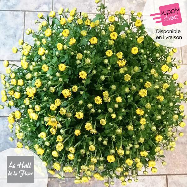 chrysanthème hall de la fleur