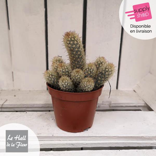 mini cactus hall de la fleur