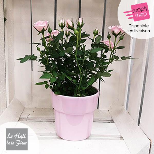 mini rosier hall de la fleur